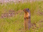 File:Ground Squirrel (2987364069).jpg