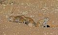 Ground Squirrels (Xerus inauris) (6538086987).jpg