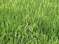 Growing rice plants.JPG