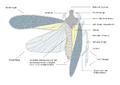 Grundbauplan Fulgoromorpha.png