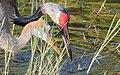 Grus canadensis (Sandhill Crane) 24.jpg