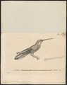 Grypus naevius - 1700-1880 - Print - Iconographia Zoologica - Special Collections University of Amsterdam - UBA01 IZ19100011.tif