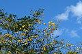 Guayacán amarillo (Tabebuia chrysantha) (14787720494).jpg