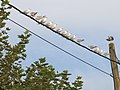 Gulls on a wire 2.jpg