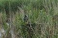 Héron pourpré (Ardea purpurea) 03.jpg