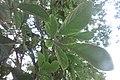HK 上環 Sheung Wan 裕林臺 U Lam Terrace tree 黃金風鈴木 Tabebuia chrysantha October 2017 IX1 01.jpg