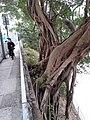 HK 半山區 Mid-levels 般咸道 Bonham Road Chinese bunyan trees February 2020 SS2 03.jpg