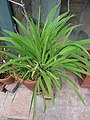 HK Mid-levels High Street clubhouse green leaves plant February 2019 SSG 90.jpg