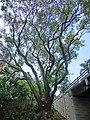 HK TST 尖沙咀 Haiphong Road 海防道 31 Camphora tree Mar-2013.JPG