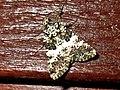 Hadena compta (Noctuidae) - (imago), Arnhem, the Netherlands.jpg
