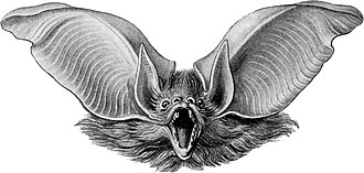 Brown long-eared bat - Image: Haeckel Chiroptera Plecotus auritus 2