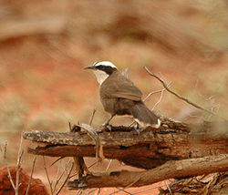 Hall's Babbler1 bowra nov05.jpg