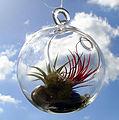 Hanging air plants terrarium.jpg
