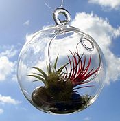 Hanging air plants terrarium.jpg