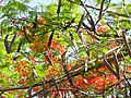 Hanging pods of Gulmohar.jpg