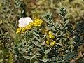 Haplophyllum suaveolens 21785526.jpg