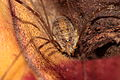 Harvestman on a Leaf (3774995610).jpg