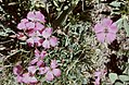 Hautes-Alpes Valpreveyre Fleurs Oeillets 071986 - panoramio.jpg