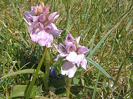 Heath Spotted-orchid - geograph.org.uk - 1378414.jpg