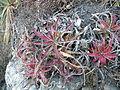 Hechtia species (5734426332).jpg