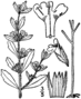 Hedeoma pulegioides drawing 1.png