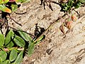 Helianthemum nummularium leaf (03).jpg