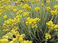 Helichrysum italicum (Roth) G. Don 0904 02.JPG