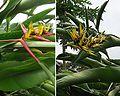 Heliconia hirsuta (29194479744).jpg