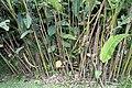 Heliconia rostrata 16zz.jpg