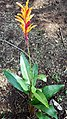 Heliconia with it's plant.jpg