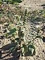 Heliotropium europaeum sl21.jpg