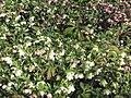 Helleborus orientalis.jpg
