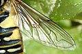 Helophilus.pendulus.wing.detail.jpg