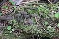 Helvella macropus 88581119.jpg