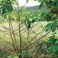 Hemileia vastatrix defoliation.png