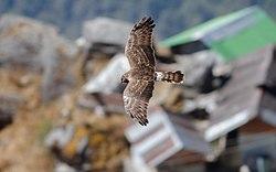 Une femelle en vol.