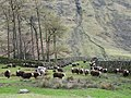 Herdwick Sheep - geograph.org.uk - 770498.jpg