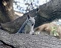 Here's Lookin' at You, Squirrel 10-26-14 (15458913350).jpg