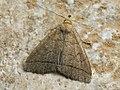 Herminia tarsipennalis - The Fan-foot (39056432330).jpg