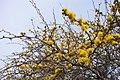 """Hermosa y aromatica flor del """" Espino """" - panoramio.jpg"""