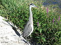 Heron Montrichard 10aug15 6728.jpg
