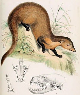 Collared mongoose species of mammal
