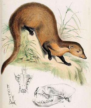 Collared mongoose - Image: Herpestes semitorquatus