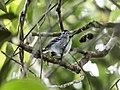 Herpsilochmus parkeri - Ash-throated-Antwren.jpg