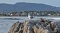 Herring Gull (Larus argentatus) - Nesodden, Norway 2020-09-20 (02).jpg
