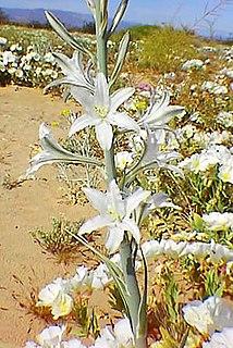 <i>Hesperocallis</i> genus of plants