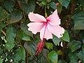 Hibiscus Albo Laciniatus (1).jpg