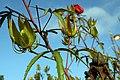 Hibiscus coccineus 7zz.jpg