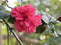 Hibiscus in rajbiraj (5).JPG