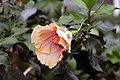 Hibiscus rosa-sinensis Harry Boris 0zz.jpg